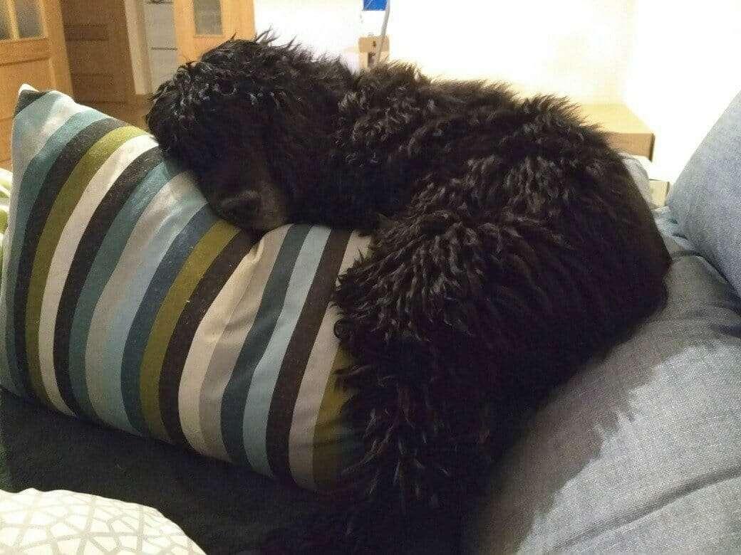 Brunillo en una de sus miles siestas agarrado al cojín como si no hubiera un mañana